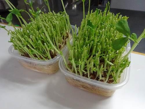 豆苗の再生方法は?使う容器や水の量食べ頃や収穫できる回数など徹底解剖!